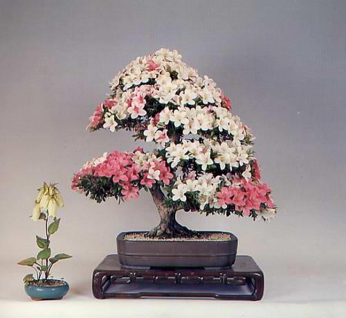 карликовое дерево, бонсай