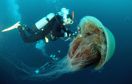 Giant Jellyfish of Coast of Japaqn