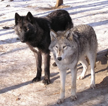 Grey and Black loups