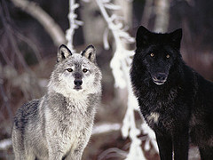 Grey and Black Wolves