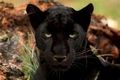 Blackheart Leopords/Panthers/Jaguries