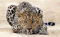 Blackheart Leopords/Panthers/Jaguries