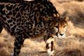 Blackheart cheetah