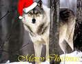 Krismas serigala, wolf