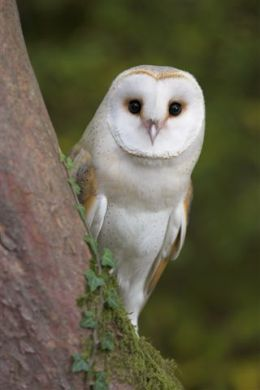 tyto alba/barn owl up for adoption! - owls Photo