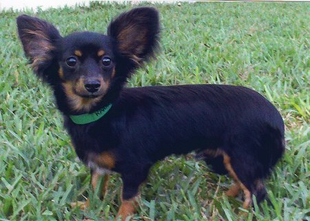 Chiweenie - Dogs Photo (25111283) - Fanpop