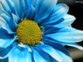 cynthia-selahblue-cynti19 - blue flower wallpaper wallpaper