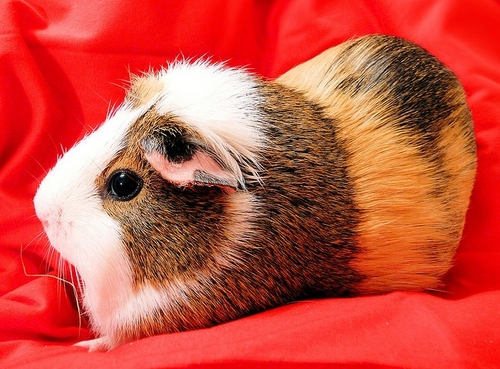Guinea Pigs wallpaper possibly with a guinea pig entitled Balbinka the Guinea Pig
