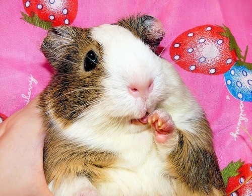 Balbinka the Guinea Pig
