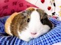 Balbinka the Guinea Pig - guinea-pigs photo