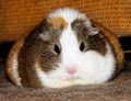 Fat, grumpy Balbinka - guinea-pigs photo