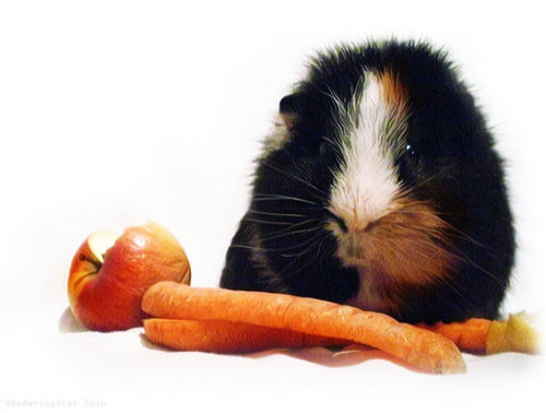 Guinea Pigs wallpaper titled Guinea pig