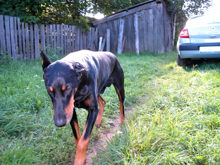 My dog Fang (hes a dobermon)