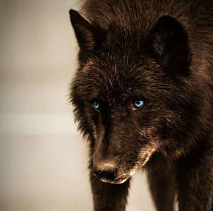 black chó sói, sói