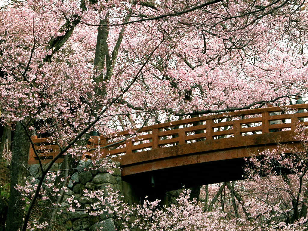 1000 Images About Cherry Blossoms For My Mai On Pinterest