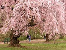 cerise Blossom