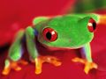 tree frog close up pic - frogs photo