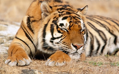 save the tigers Big cat rescue is saving tigers through education and legislation we post the  latest in tiger news here and in our newsletter the big cat times we gather.