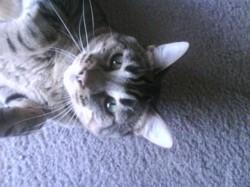 Bryce my tabby cat