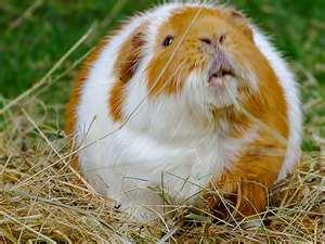 Fat Pig!