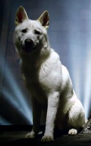 Ghost - Jon Snow direwolf