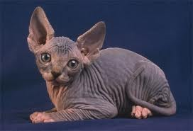 Cats wallpaper probably with a mexican hairless entitled Gorgeous sphynx kitten