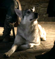 Grey Wind - Robb's direwolf - game-of-thrones-direwolves photo
