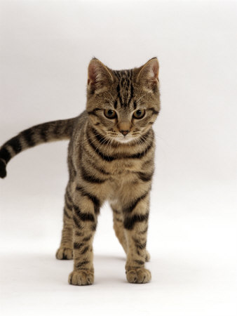 Ask the Vet's Pets: What's the difference between a tabby ... Tabby Norwegian Forest Cat