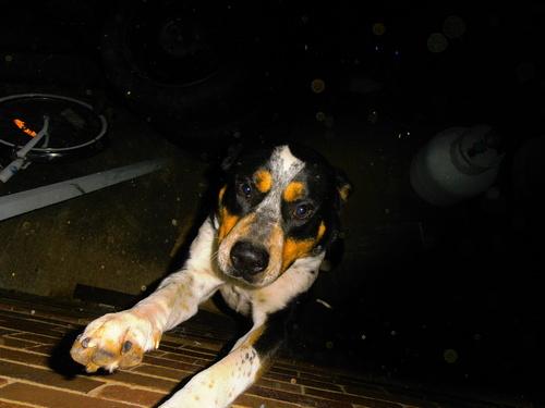 This Saturn a Bullmastiff/ hes Shelby's boyfriend!