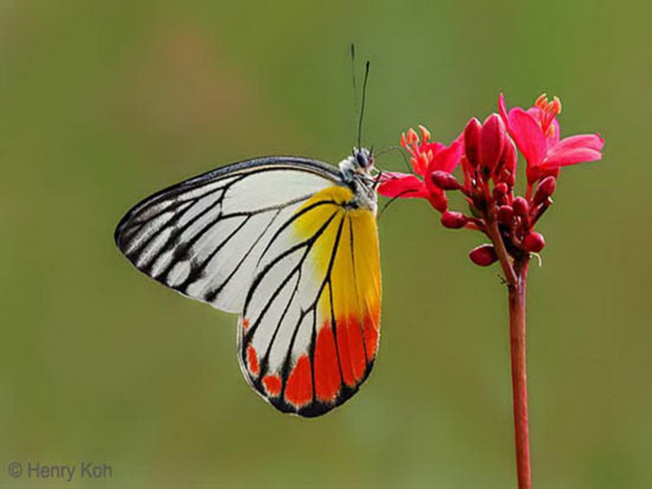 Candy Corn Butterfly