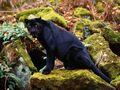 Dark Stare of a Black Leopard - big-cats wallpaper