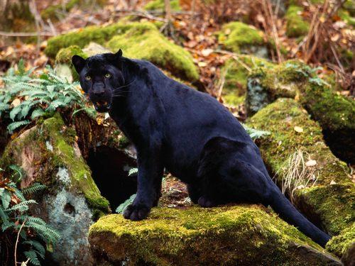 Dark Stare of a Black Leopard