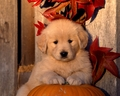 Playful Pets - halloween wallpaper