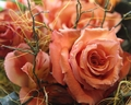 Pretty in Peach - roses wallpaper
