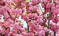 Cherry Blossom - yorkshire_rose wallpaper