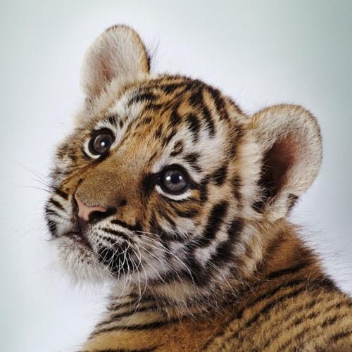 Cute Tiger Cub! 100% Real ♥
