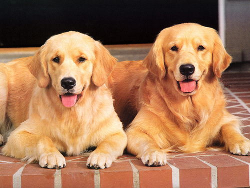 Cani wallpaper containing a golden retriever titled DOG'ssssss