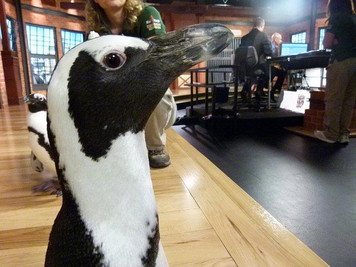 پینگوئن, پیںگان Pics
