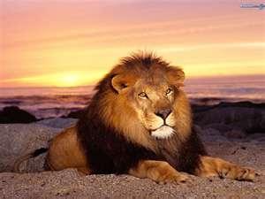 sunset lion