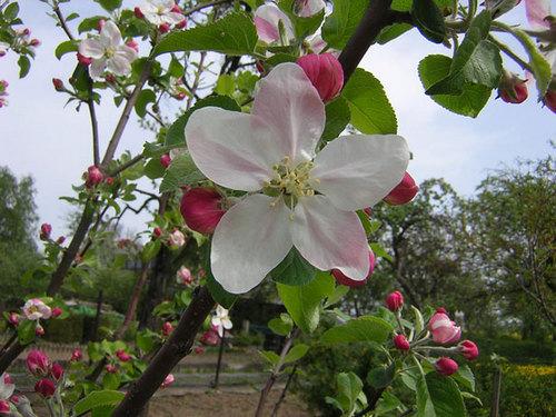apfel, apple Blossoms