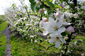apel, apple Blossoms