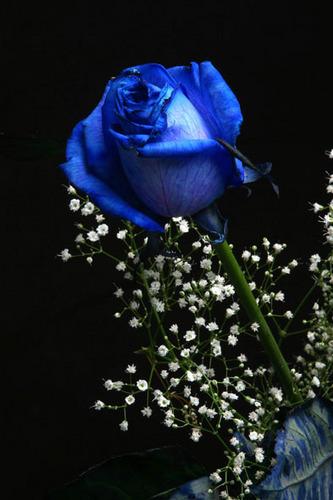 Blue mga rosas
