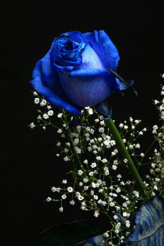 Blue rosas