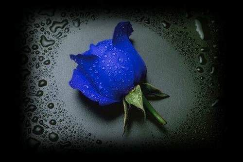 Flowers images blue roses wallpaper and background photos - What are blue roses called ...