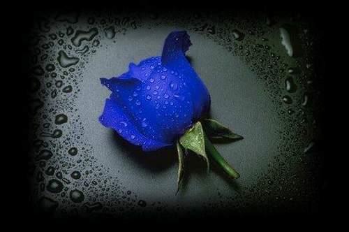 Blue Rosen