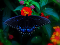 Butterfly - yorkshire_rose wallpaper