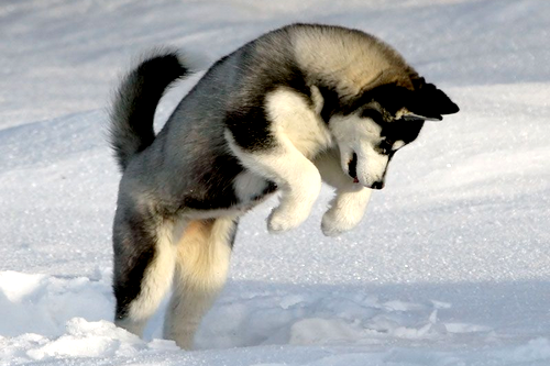 Cute Husky Playing In The Snow! 100% Real ♥