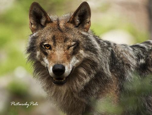 Flirty 狼, オオカミ :)