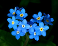 Forget-Me-Nots - flowers photo
