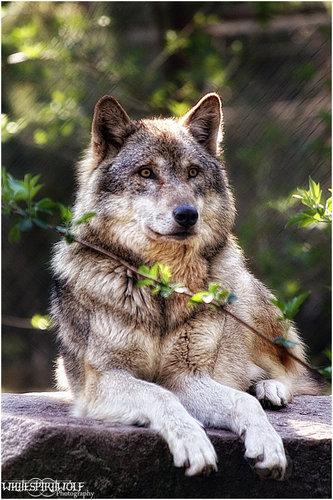 Grey chó sói, sói